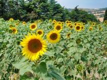 Zonnebloemgebied in zuiden van Frankrijk stock fotografie