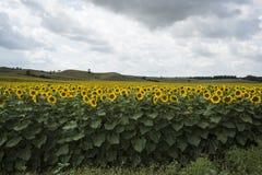Zonnebloemgebieden in de zomer royalty-vrije stock foto