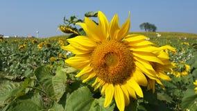 Zonnebloemgebieden en bij Stock Foto