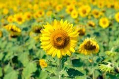 Zonnebloemgebieden, Lopburi, Thailand Stock Afbeelding