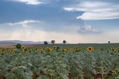 Zonnebloemgebieden met hemel stock afbeeldingen