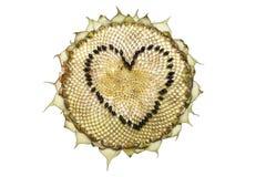 Zonnebloemhoofd op een witte achtergrond wordt geïsoleerd die De vorm van het hart Stock Fotografie