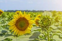 Zonnebloeminstallatie op een gebied in de fase van hoed vorming en het bloeien tegen een achtergrond van een zonnige hemel met wo Stock Foto's
