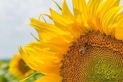Zonnebloeminstallatie op een gebied in de fase van hoed vorming en het bloeien tegen een achtergrond van een zonnige hemel met wo Royalty-vrije Stock Foto's