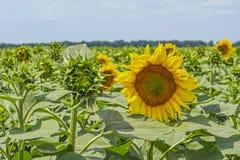 Zonnebloeminstallatie op een gebied in de fase van hoed vorming en het bloeien tegen een achtergrond van een zonnige hemel met wo Stock Foto