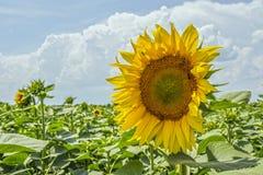 Zonnebloeminstallatie op een gebied in de fase van hoed vorming en het bloeien tegen een achtergrond van een zonnige hemel met wo Stock Fotografie