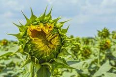 Zonnebloeminstallatie op een gebied in de fase van hoed vorming en het bloeien tegen een achtergrond van een zonnige hemel met wo Royalty-vrije Stock Afbeeldingen