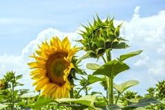 Zonnebloeminstallatie op een gebied in de fase van hoed vorming en het bloeien tegen een achtergrond van een zonnige hemel met wo Stock Afbeelding