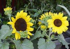 Zonnebloeminstallaties in volledige bloei, voor verkoop aan tuinlieden Stock Foto's