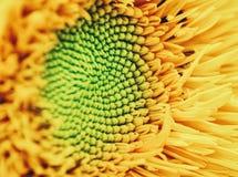 Zonnebloemmacro Stock Afbeelding