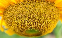 Zonnebloemstuifmeel stock afbeeldingen