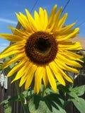 Zonnebloemtuin Stock Afbeeldingen