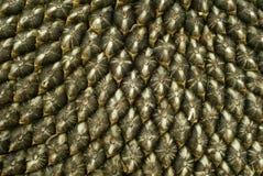 Zonnebloemzaden Stock Afbeelding