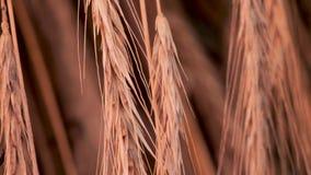 Zonnebloemzaden - zaadfonds Organische bloemkelderverdieping Gezond voedselconcept Groen toerismeconcept Landbouwachtergrond Het  stock video