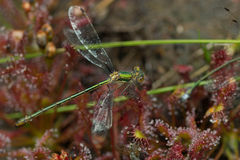 Drosera intermedia damselfly. Zonnedauw-drosera intermedia in the nature in close up royalty free stock photo
