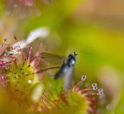 Zonnedauw med rovet Royaltyfri Foto