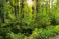 Zonneschijn in bos Stock Fotografie