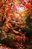 Zonneschijn door de esdoorns Royalty-vrije Stock Foto