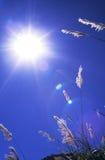 Zonneschijn en silivergrass Royalty-vrije Stock Afbeeldingen