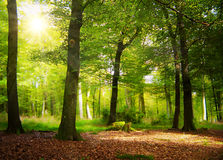 Zonneschijn in het bos Stock Fotografie