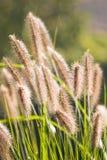 Zonneschijn op het Chinese Gras van de Fontein Stock Foto