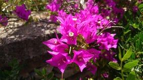 Zonneschijn op roze bloem in Zuid-Afrika Royalty-vrije Stock Afbeeldingen