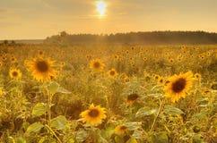 Zonneschijn rond zonnebloem Stock Fotografie