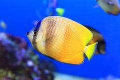 Zonnestraal Butterflyfish royalty-vrije stock fotografie
