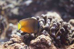 Zonnestraal Butterflyfish op Coral Reef stock afbeeldingen