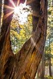 Zonnestraal die door Oude boom in Bos gluren Royalty-vrije Stock Foto's