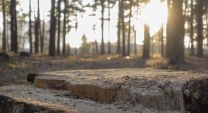 Zonnestraal die door pijnboomhout glanzen royalty-vrije stock afbeeldingen
