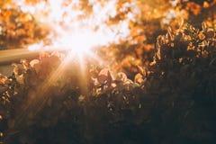 Zonnestraal door hydrangea hortensiainstallatie stock afbeeldingen