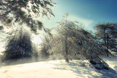 Zonnestraal door Sneeuwpijnbomenbomen in Etna Park, Sicilië stock fotografie
