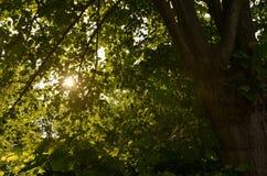 Zonnestraal in een boom wordt gevangen die stock foto's