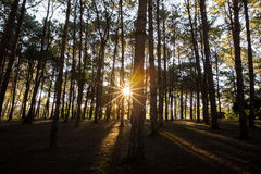 Zonnestraal in het bos van de aardpijnboom stock fotografie