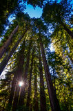 Zonnestraal in Muir Woods National Monument - Molenvallei, CA Royalty-vrije Stock Fotografie
