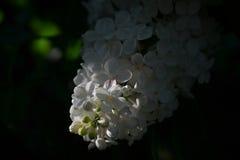 Zonnestraal op een tot bloei komende witte sering Royalty-vrije Stock Afbeelding