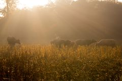 zonnestraal in padieveld royalty-vrije stock afbeeldingen