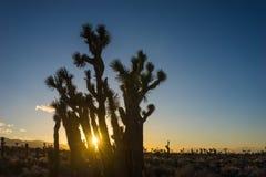 Zonnestraal tussen Californië Joshua Trees stock foto