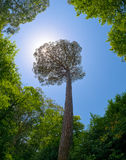 Zonnestralen door de kroon van hoge boom Royalty-vrije Stock Foto