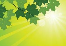 Zonnestralen en esdoornbladeren Royalty-vrije Stock Foto