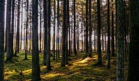 Zonnestralen tussen naakte bomen Stock Fotografie