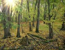 Zonnig bos in de herfst Stock Fotografie
