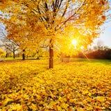 Zonnig de herfstgebladerte Stock Afbeeldingen