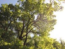 Zonnig weer in de bos Lange bomen Stock Fotografie