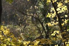 Zonnige aardachtergrond met takken van de de herfst de gele boom De gouden stralen royalty-vrije stock foto's