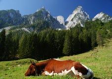 Zonnige Alpen met een koe Royalty-vrije Stock Afbeelding