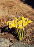 Zonnige bloemennarcissen Stock Afbeeldingen
