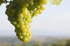 Zonnige cluster van groene druiven stock foto's