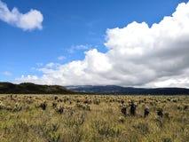 Zonnige dag in een paramo Bedreigd bioma met biodiversiteit met frailejoninstallaties royalty-vrije stock fotografie